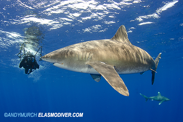 Oceanic Whitetip 3